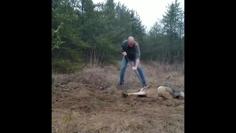 Освобождение волка из капкана