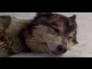 Грустная песня про волков.До слёз