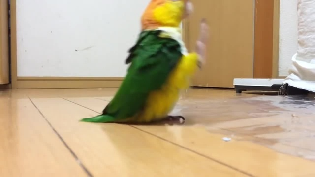 Funny parrot stomping around like its mad