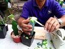 Grafting Echinofossulocactus sp. f. inermis by Cactus old