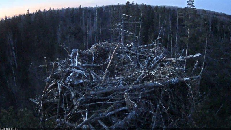 19/04/2018 21:13 Irma (U5) returns home and fight for the nest begins (Osprey Estonia)