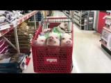 Шопинг с милейшими свинками