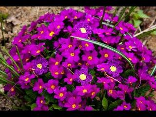 Вязание крючком. Цветок примулы.