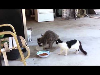 Енот ворует еду у кошек - Raccoon steals cat`s food || ~ KSI TV ~ ||