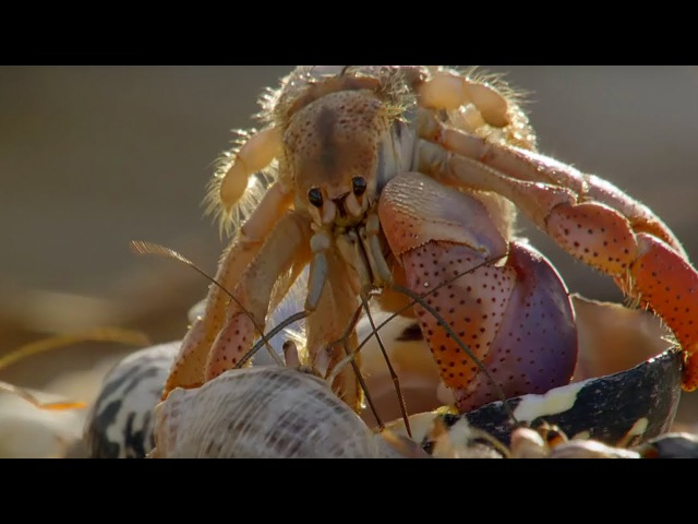 Amazing Crabs Shell Exchange | Life Story | BBC