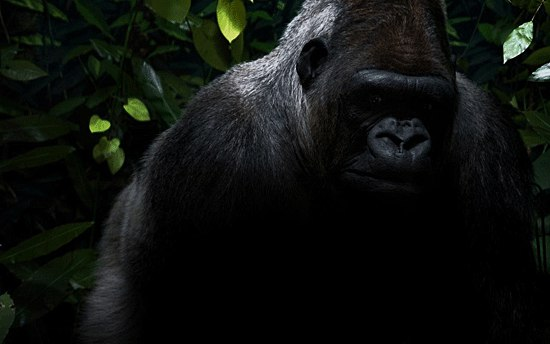 Слово «горилла» переводится как «поросшая шерстью женщина»