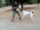 Рабочие собаки алабай САО Casual k9 (C.A.O.)