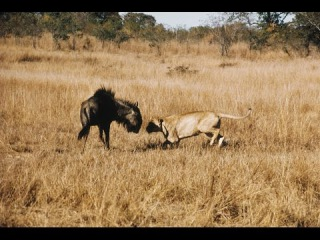 Wildlife Animals Documetary - Wild Africa Documentary - Lions With Hyenas And More