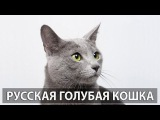Русская голубая кошка: описание породы. Часть 2