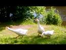 Гусиное семейство. Сестрорецк парк Дубки 21.06.2015