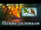 1 Hr - Соловьи поют Nightingales singinig