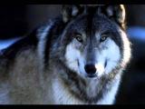 волк (я объявляю вам войну)