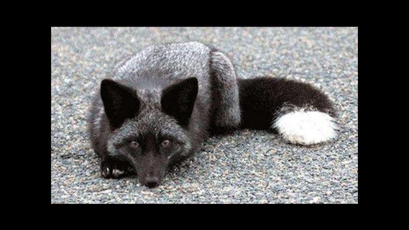 ТОП 5 серебристо-черная лиса. SILVER FOX.