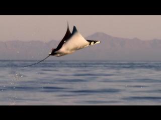 Летающие скаты на водой видео