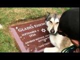 Собачка плачет на могиле хозяина.