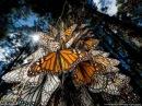 Поразительная Красота И Невероятное Путешествие Бабочек Improbable travel of butterflies 2008