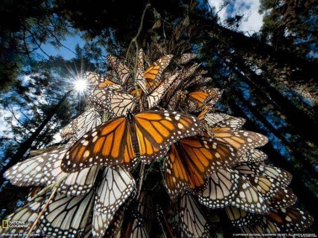 Поразительная Красота И Невероятное Путешествие Бабочек (Improbable travel of butterflies) 2008