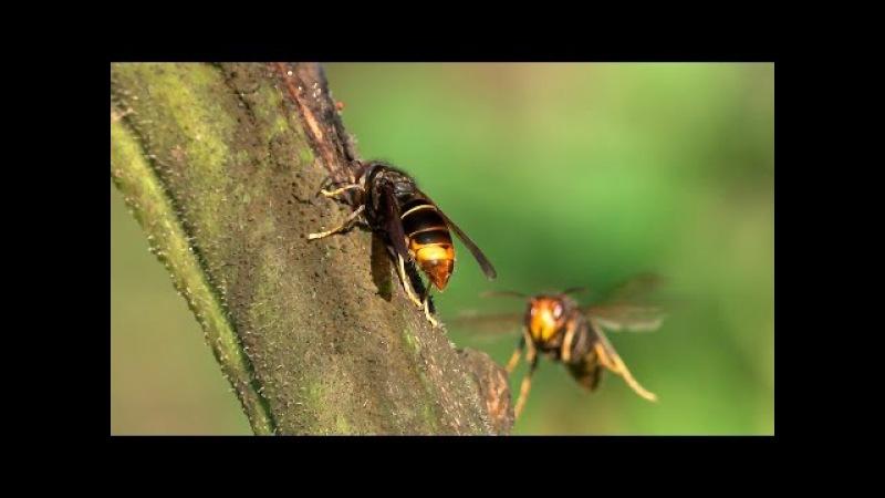 A avespa asiática, unha ameaza ambiental (vespa velutina)