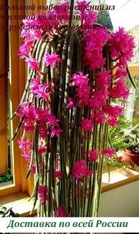 Цветы бугаевой