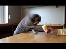 Funny Scottish Fold cat is eating cheese and ice cream with paws