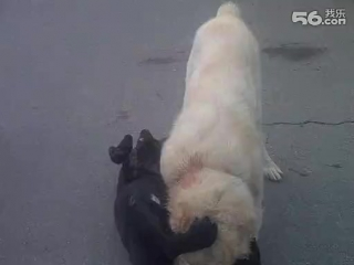 Собачьи бои кане корсо vs сао алабай