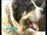 Гигантский алабай - Бульдозер Biggest Dog of the World - Alabay TurkDog