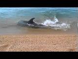 Дельфин охотится за рыбой у самого берега. Dolphin hunt for fish near the shore.
