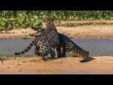 Ягуар Против Крокодила Подборка - Jaguar VS Crocodile Compilation