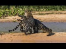 Ягуар Против Крокодила Подборка Jaguar VS Crocodile Compilation