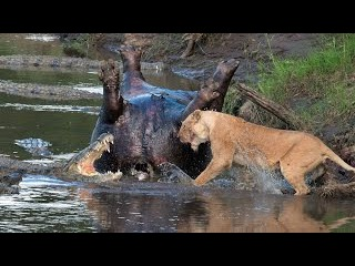 Прайд львов напал на крокодилов! Львы против крокодилов / Самки идут на помощь