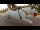 Jack Russell Terrier Rollerblading Buddy- JRT Power!