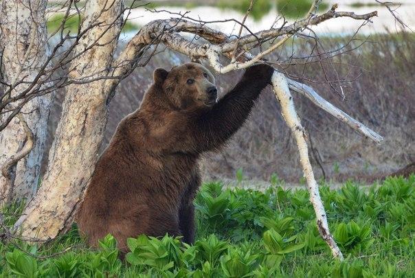 Утренняя загадка: для чего медведю ветка? Ответ — на странице автора фото Максима Ушакова