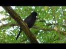 Дрозд чёрный 3 (Turdus merula)