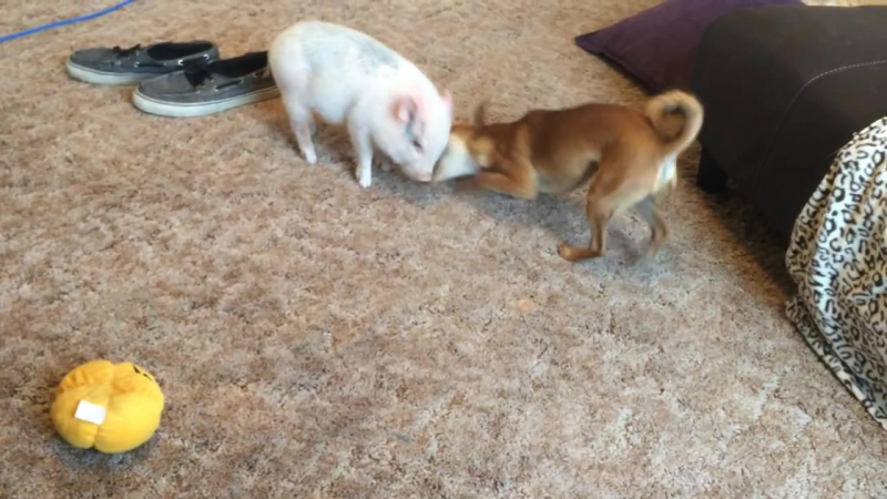 Chihuahua and Mini Pig have epic wrestling battle