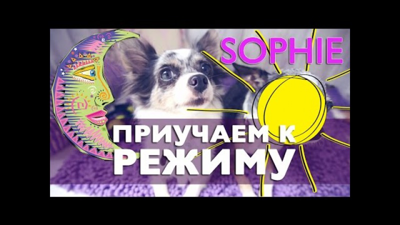 Щенок не дает спать ночью, режим дня собаки | Чихуахуа Софи
