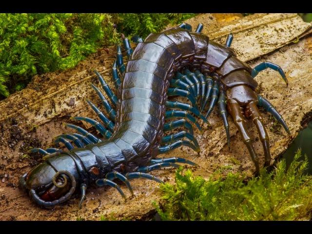 Centipede feeding time