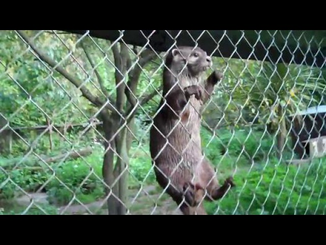 Des loutres amusantes dans un zoo en Angleterre