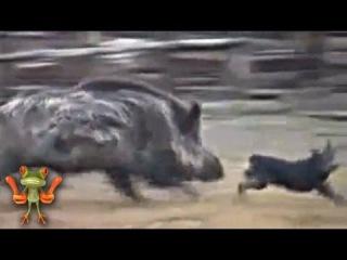 Бои животных. Кабан против ротвейлера
