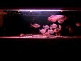 My RTG Arowana (Monster Fish Tank)