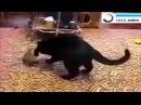 Горностай в доме! Кот вешается!