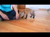 Happy baby fox running around!