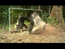 Silverback allways shows aggressiveness towards mirrors - Le dos argenté agresse toujours son reflet