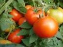 Низкорослые Детерминантные томаты / Пасынкование / Формирование куста / Делюсь ...