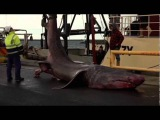 Гигантскую акулу поймали впервые за 80 лет