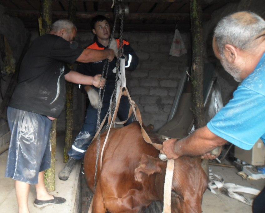 В Ростовской области спасатели извлекли из ямы корову