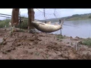 Поклевка и ловля белого амура