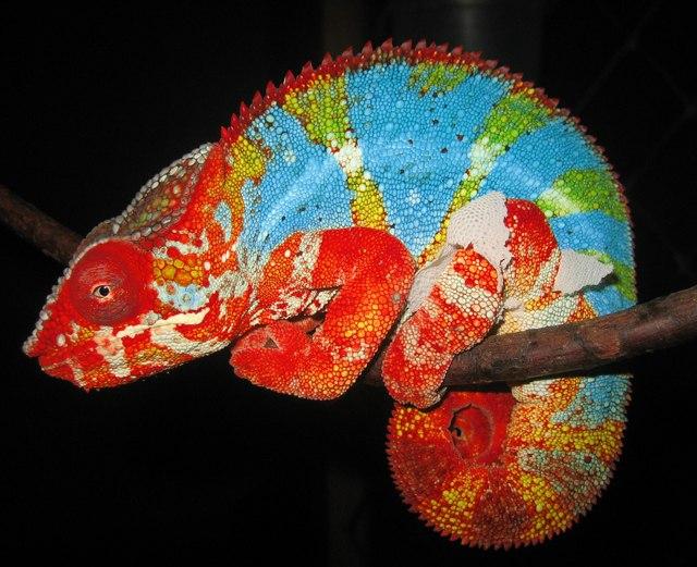 Смена окраса у рептилий