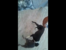 Собачьи бои сын Каймана питбуль Гризли vs САО алабай