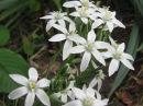 Растения для альпийской горки. Хионодокс посадка и уход