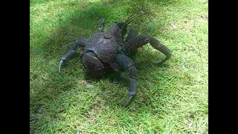 Tatos the Terror Coconut Crab